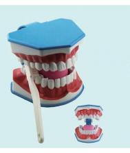 Mokomieji dantų modeliai